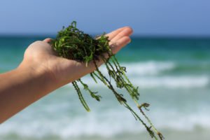 a handful of fresh seaweed against the sea background